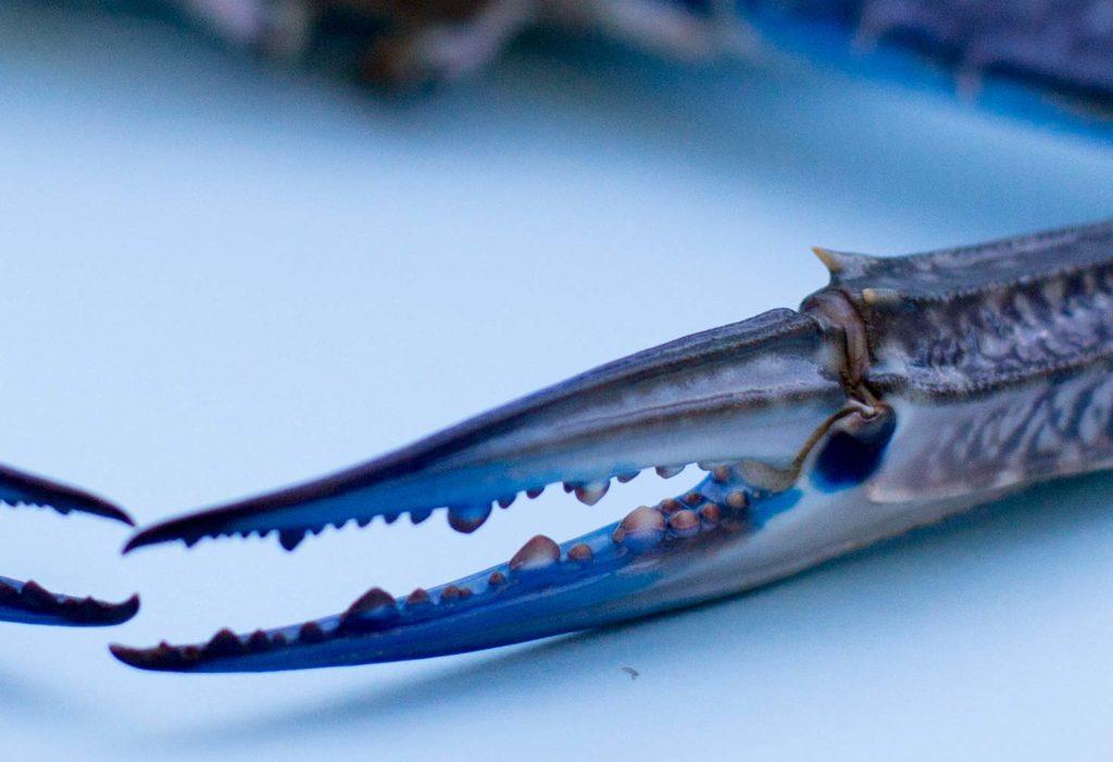Fresh Crab Claws